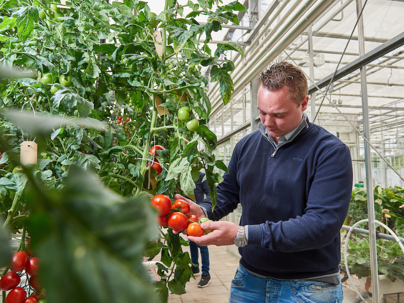 Arable farming student from Aeres University of Applied Sciences with tomatoes in greenhouse